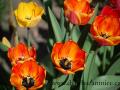 DSC_5543 w tulipány
