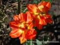 DSC_5544 w tulipán kadeřavý