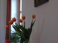DSC_5554 w tulipány ve váze