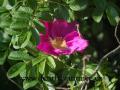 DSC_6277 w růže plstnatá