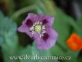 DSC_6817 w květ máku