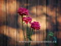 DSC_7269 w růže