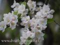 DSC_5688 w květ jabloně