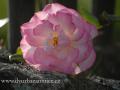 SPU_5036 w růže
