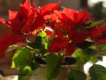 SPU_6865 w vánoční hvězda