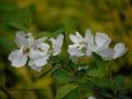SPU_2526 w květ keře