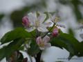 SPU_2548 w květ jabloně