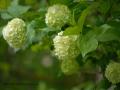 SPU_2551 w květ kaliny velkokvěté
