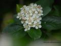 SPU_2552 w květ aronie