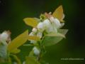 SPU_2554 w květ borůvky kanadské