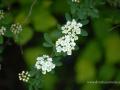 SPU_2556 w květ keře