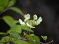 SPU_2557 w květ kaliny