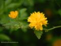 SPU_2558 w květ janeby