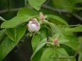 SPU_2559 w květ kdoule