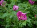 SPU_2899 w růže plstnatá