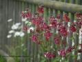 SPU_2915 w orlíčky u plotu