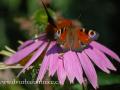 SPU_3452 w motýli-echynacea