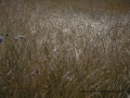 SPU_2923 w suchá tráva