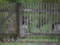 DSC_5966 smečka za plotem